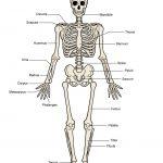Printable Human Skeleton Diagram   Labeled, Unlabeled, And Blank   Printable Skeleton Puzzle