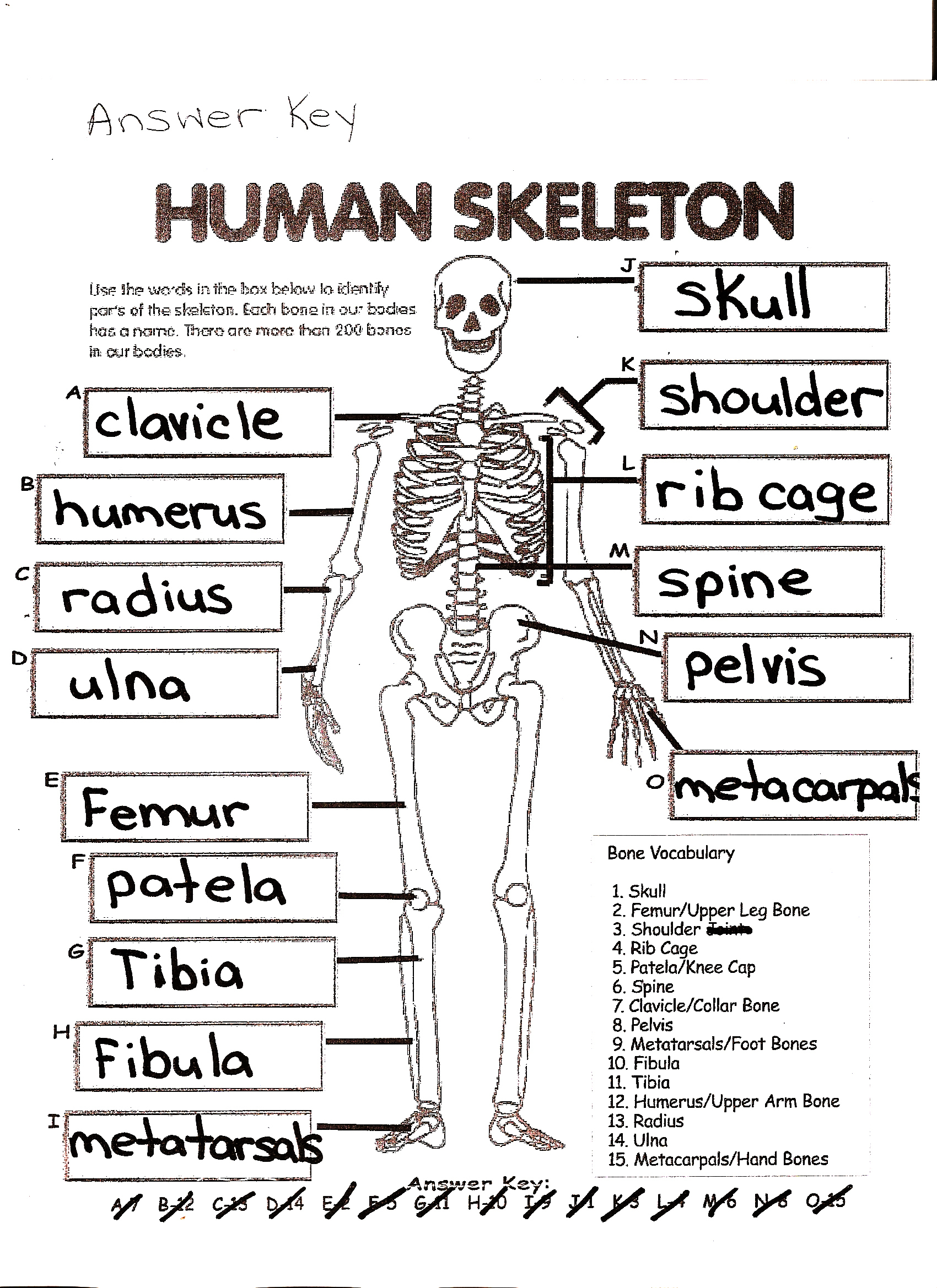 Skeletal System Crossword Puzzle Answers   Healthy Hesongbai - Skeletal System Crossword Puzzle Printables
