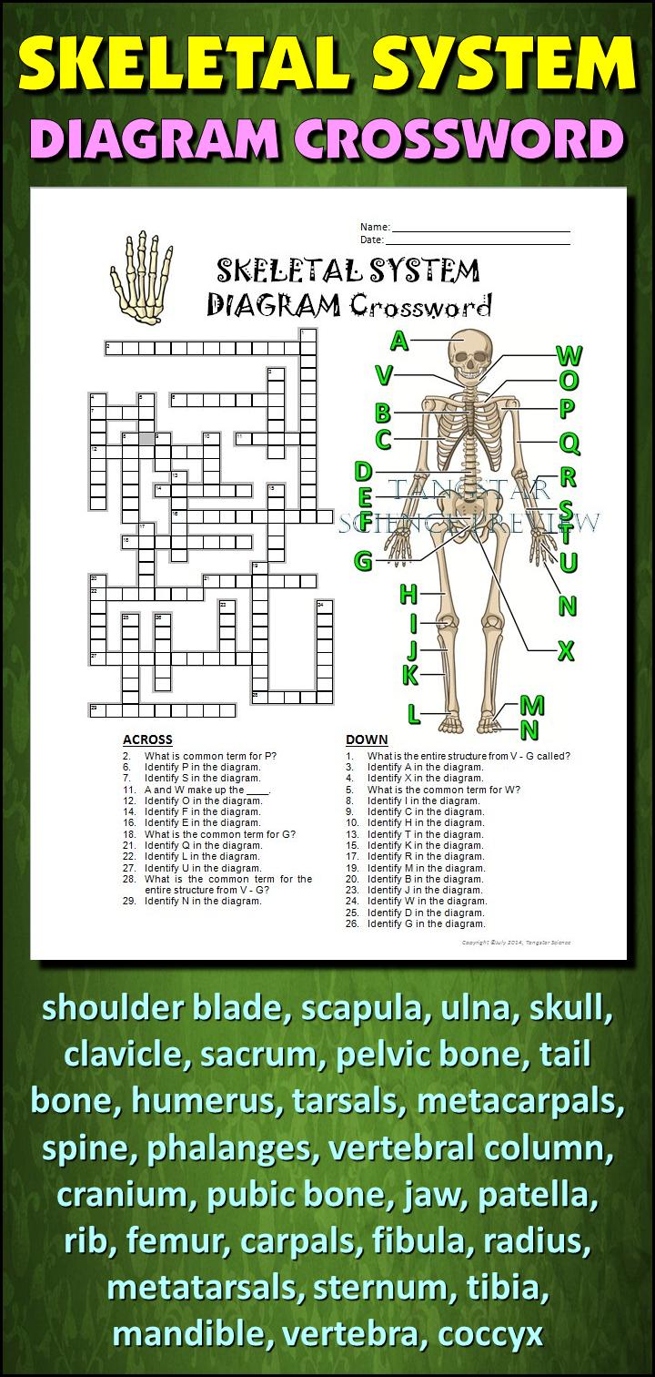 Skeletal System Crossword With Diagram {Editable}   Tpt Science - Skeletal System Crossword Puzzle Printables