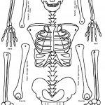 Skeleton Puzzle Printable | Print It | Human Skeleton, Human Body   Printable Skeleton Puzzle