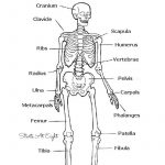 The Skeletal System: Hands On Learning Resources | Human Body   Printable Skeleton Puzzle