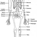 The Skeletal System Worksheet Answers   Siteraven   Printable Skeletal System Crossword Puzzle